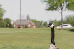 Curious Goose_MG_0120_3465 (918monty) Tags: goose canadagoose wildlife largebirds breckinridgeparkrichardsontx longneckedbirds snoopygoose sillygoose curiousgoose birds geese grassfeedingwildlife