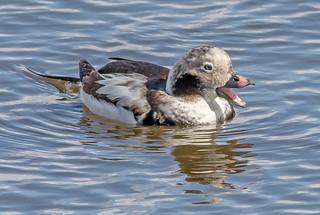 DSC7625 Long Tailed Duck..