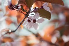 unusual (eva vee) Tags: nature trees blossom flower plants cherrytree pink orange brown warmth spring outdoor nikon dof bokeh unusual colors frühling blüten petals light multicoloured plum plumtree flowering