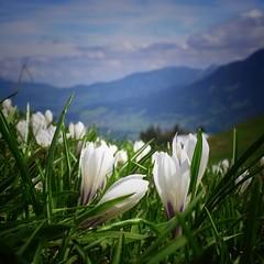 Spring in the Allgäu (Jos Mecklenfeld) Tags: ricohgx200 bloemen blumen flowers krokussen wandelen wandern hiking mountains bergen landschap landschaft landscape alps alpen duitsland deutschland germany bayern allgäu oberstdorf