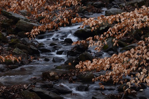 Amicalola Creek and Beech Trees