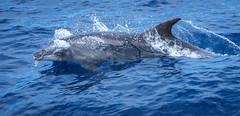2016.05-Teneriffa-320 (FV1405) Tags: 2016 kanarischeinseln spanien teneriffa tier adeje canarias es