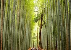 Bamboo land. (sunvita33) Tags: kyoto japan traveling travel bamboo forest vitawiehl sony arashiyama green trees tourism tourist