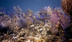 creole stream (Jeff Mitton) Tags: scuba guanaja honduras coral seafan reef marine tropical fish earthnaturelife wondersofnature