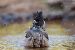Black Headed Jay (Hardik Pala) Tags: birds sattal uttarakhand himalaya jay bathing