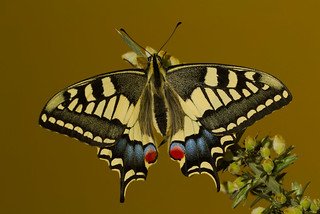 Papilio machaon (3)