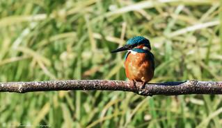 Sunlit Male kingfisher