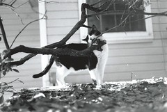 """I'm going to bite this branch."" --Thomas (2 of 2) (rootcrop54) Tags: thomas male masked cow cat branch livingwiththomas macska kedi 猫 kočka kissa γάτα köttur kucing gatto 고양이 kaķis katė katt katzen kot кошка mačka maček kitteh chat ネコ scannedanalogprint"