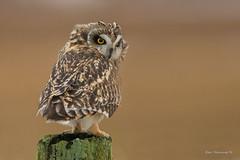 Captivated... (Earl Reinink) Tags: bird animal earlreinink earl reinink niagara eye eyes owl raptor shorteredowl asioflammeneus uthdaaadha