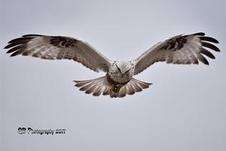 Rough-legged Hawk Hovering DSC_4873