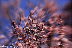 Spring Blossoms (dwight g) Tags: canon 6d lensbabysweet50mm tree blossoms ps topaz
