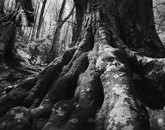 Roots (Escipió) Tags: beech root adox cms20 selfdeveloped mamiya7 mamiya43mm bw film filmisnotdead 6x7 france pyrenees beechforest vivier