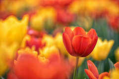 春色 (Mori.Kei) Tags: チューリップ tulip 花 flowers red yellow green 赤 黄 緑 nikon d4s 横浜公園