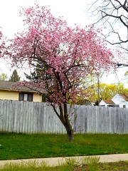 Blossoms in April 2 (FotoGuy 49057) Tags: blooms flowers tree color spring warmth