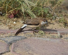 All the seed you can eat (Grumpys Gallery) Tags: whitethroatedmunia birds wildlife nature mirdif dubai uae