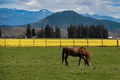 Happy Fence Friday! (amarilloladi) Tags: wow flora outdoors grass pasture ranch farm horses yellow pacificnorthwest washington skagitvalley happyfencedfriday hff 7dwf daffodils