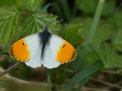 Orange Tip (Male) (ukstormchaser (A.k.a The Bug Whisperer)) Tags: orange tip male uk butterfly butterflies animal animals wildlife milton keynes howe park wood tattenhoe basking
