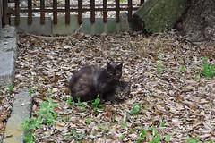 Today's Cat@2017-04-26 (masatsu) Tags: cat thebiggestgroupwithonlycats catspotting pentax mx1