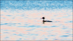 Red-breasted Merganser in Pink (imageClear) Tags: pastels pink color nature bird duck redbreastedmerganser lakemichigan northpoint beauty aperture wildlife nikon d500 80400mm imageclear flickr photostream