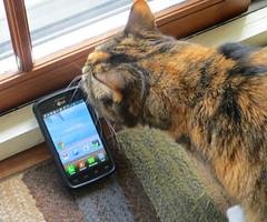 Gracie 26 April 2017 4422Ri 5x6 (edgarandron - Busy!) Tags: gracie patchedtabby cat cats kitty kitties tabby tabbies cute feline