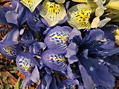 Dwarf Irises (clickclique) Tags: flower flowers spring iris dwarfirises purple yellow garden nature outdoors short mini inexplore
