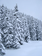 winter pine trees (68104903161094sisyphus) Tags: europe winter snow holiday alpine pinetrees christmastrees snowcovered festive christmassy card fir fur