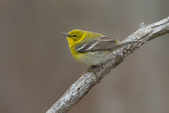 Pine warbler (Phiddy1) Tags: