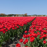 TulipsHolland005 thumbnail