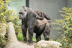 2017-04-08-13h41m15.BL7R2887 (A.J. Haverkamp) Tags: canonef100400mmf4556lisiiusmlens shae shindy amsterdam noordholland netherlands zoo dierentuin httpwwwartisnl artis thenetherlands gorilla sindy pobrotterdamthenetherlands dob03061985 pobamsterdamthenetherlands dob21012016 nl