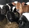 The new calves (Ogedn) Tags: livestock jersey holstein calves farm steers cattle