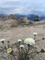 Desert Pincushion, Chaenactis stevioides (Jeffrey Sullivan) Tags: desert pincushion chaenactis stevioides alabama hills recreation area blm iphone 6s apple iphone6splus mobile phone cellphone camera images iphoneography california usa photo copyright 2016 jeff sullivan april bureauoflandmanagement lonepine easternsierra inyocounty flowers wildflowers spring trackthebloom