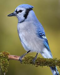 Portrait de Geai bleu / Portrait of Blue jay (Sylvain Prince) Tags: cyanocittacristata