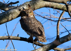 Great Horned Owl (tavarez.niurka) Tags: great horned owl bubo viginianus lechuza coruja buho gufo chouette eule buma raptor predator eyes owling yellow
