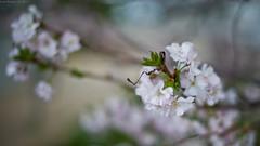 spring (Luca Ricagni) Tags: luca ricagni lucaricagni wwwlucaricagniit nature flowers flower d800 nikon nikkor 50mm 50 spring