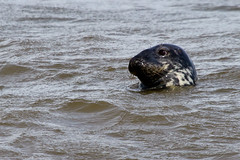 Common Seal (David in SK6) Tags: hilbreisland commonseal