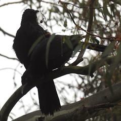 Corcorax melanorhamphos (Diana Padrón) Tags: australia victoria bird ave birds aves nature naturaleza whitewinged chough corcorax melanorhamphos