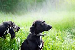 dogs for adoption (Shedara Weinsberg) Tags: dog dogs mydog adoption rescue greenbackground hound