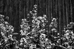 flora (renanluna) Tags: flora flor flower metal monocromia monochromatic pretoebranco blackandwhite pb bw paranapiacabasãopaulo 011 sp br 55 fuji fujifilm fujifilmxt1 xt1 35mm fujinon35mmf14xfr fujinon renanluna