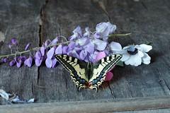 happy easter (Angelo Petrozza) Tags: happy easter buona pasqua butterfly farfalla machaon macaone papilio wisteria glicine flowers stilllife angelopetrozza pentaxk70 revuenon 55mm f12 manuallens
