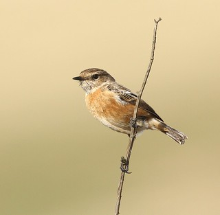 Hen Stonechat on a stick II  - Cleeve Common