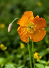 Welsh Poppy (Meconopsis cambrica) (Brian The Euphonium) Tags: welshpoppy meconopsiscambrica flower orange pentax sigma50mmf14dgex welshflickrcymru k20d