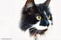 Black and White (Nick Fewings 5 Million Views) Tags: 2017 march 7d canon nickfewings ragdoll olive pet cat portrait eyes green face fur white black