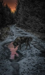 IMG_1077 (Cuan Dubh Designs) Tags: dog sunset forest night husky utonagan path winter snow reflection