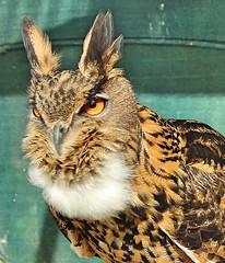 Eurasian Eagle Owl (Bogger3.) Tags: eurasianeagleowl allerford exmoornationpark somerset exmoornationalpark canon600d canon18x135lens coth5