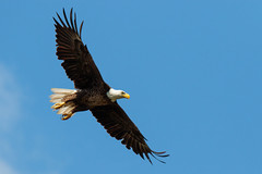 (Michael R Hayes) Tags: baldeagle eagle flight wingspan wings feathers flying earthday