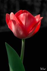 Tulipano del giardino (Fabio Cevrero) Tags: flower fiore tulipano garden giardino orto rouge red rosso vert green verde sfondo nero black portrait ritratto nikon d3200 macro pianta