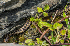 Same Adder seen on 2nd April up the path from Ayrmer Cove (Matchman Devon) Tags: adder viper berus ayrmer cove south hams devon ringmore