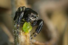 Saltique (guillaume.randon) Tags: sigma105mm kenko14 nikond7200 prédation macro saltique araignée