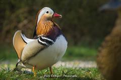 mandarin duck 2 (bodoedthofer) Tags: birds nature mandarinduck sweden