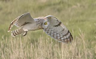 Short-eared Owl_Farlington Marshes_Thursday 6/4/17_BZ678